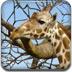 长颈鹿拼图