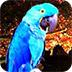 救援蓝色鹦鹉小游戏